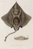 Gaimard's ray, Iceland, early 19th century.