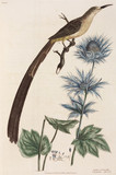 Hoopoe and eryngium, 1776.