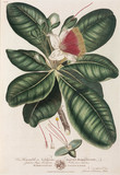 Barringtonia, 1776.
