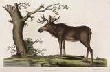 Elk, 1776.