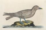 Sea bird, 1776.
