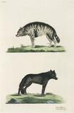 Hyena and wolf, 1776.