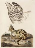 Serval, 1776.