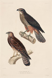 Birds of prey, 1837-1840.