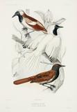 Antbirds, 1837-1840.