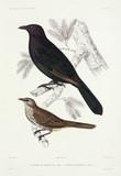 Starlings, 1837-1840.