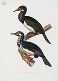 Cormorants, 1837-1840.