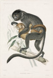 Langurs or snow monkeys, 1837-1840.