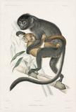 Langurs or snow monkeys, 1837-1840.