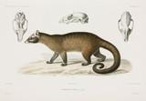 Silky civet, 1837-1840.