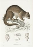 Phalanger, 1837-1840.