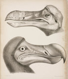 The Dodo, c 18th century.