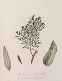 'The Tea-Tree of New South Wales', 1789.
