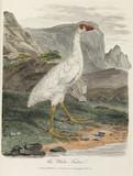 'The White Fulica', 1789.
