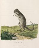 'A Poto Roo', 1790.