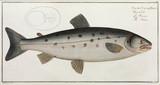 'The Salmon', 1785-1788.