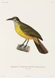 Yellow-cheeked Philedon, New Guinea, 1822-1825.