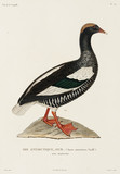 Antarctic goose, (female), Falkland Islands, 1822-1825.