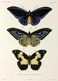 Three butterflies, 1822-1825.