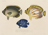 Mailed and ornate butterflyfish, and angelfish, South Pacific, 1822-1825.