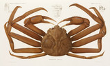Snow crab, Scandinavia, 1838-1840.