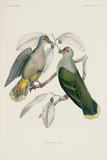 Pair of doves, Samoa, 1838-1842.