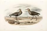 Sociable plovers, Black Sea Area, 1837.