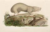 Blind mole-rat, Black Sea area, 1837.