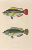 Black Sea fish, 1837.