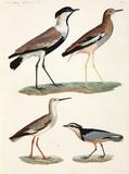Birds, Egypt, 1798.
