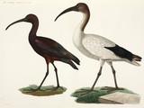 Black and White Ibises, Egypt, 1798.