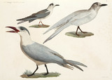 Terns and gulls, Egypt, 1798.