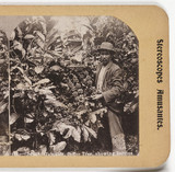 Jamaica Coffee Tree, Showing Berries', about 1900.