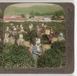 Girls picking tea...', 1904.
