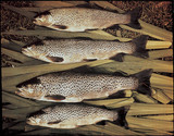 Brown trout, 1908.