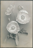 Shirley poppies, 1905.