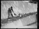 Walt Disney filming penguins at London Zoo, 1935.