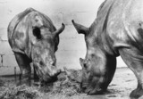 White rhino and mother, October 1974.