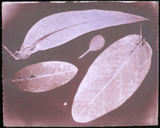 Four leaves by Herschel, 1839.