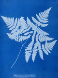 Cyanotype of Polypodium dryopteris, 1853.