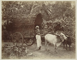 Bullock cart and driver, Ceylon, c 1870.