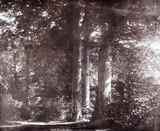 Beech trees at Lacock, c 1841.