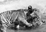 Tiger cubs, Chester Zoo, c 1980s.