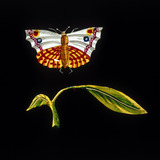 Butterfly and leaf, hand-coloured magic lantern slide, 19th century.