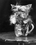Toy Yorkshire terrier, June 1985.