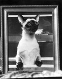 Siamese cat, July 1976.