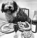 The richest old English sheepdog in the world, February 1980.