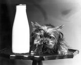 Toy Yorkshire terrier, June 1985.