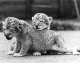 Lion cubs, Windsor Safari Park, May 1988.