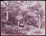 """'Deer', c 1856."""